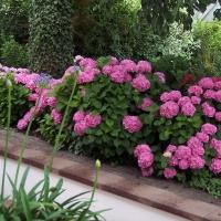 Blütenmeer aus Hortensien