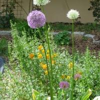 Zierlauch in voller Blüte