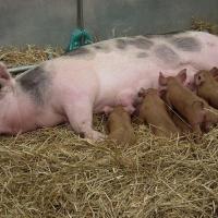 Mutterschwein mit Ferkeln