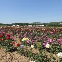 Weinsberger rosen 010