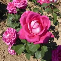 Weinsberger rosen 016