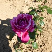 Weinsberger rosen 019