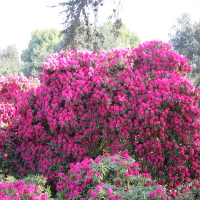 Rhododendren in voller Blüte