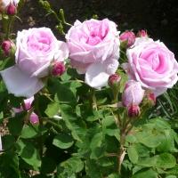 Rosen berühren die Sinne
