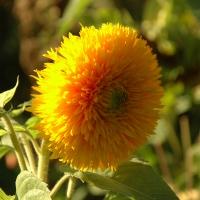 Gefüllte Sonnenblume