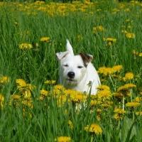 Hund auf Frühlingswiese