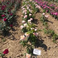Weinsberger rosen 017