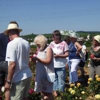 Weinsberger rosen 021